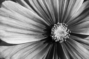 Nahaufnahme Blüte schwarz/weiß