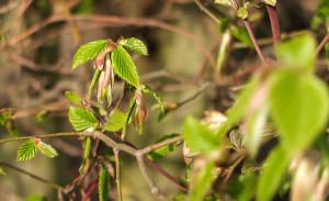 erste grüne Blätter