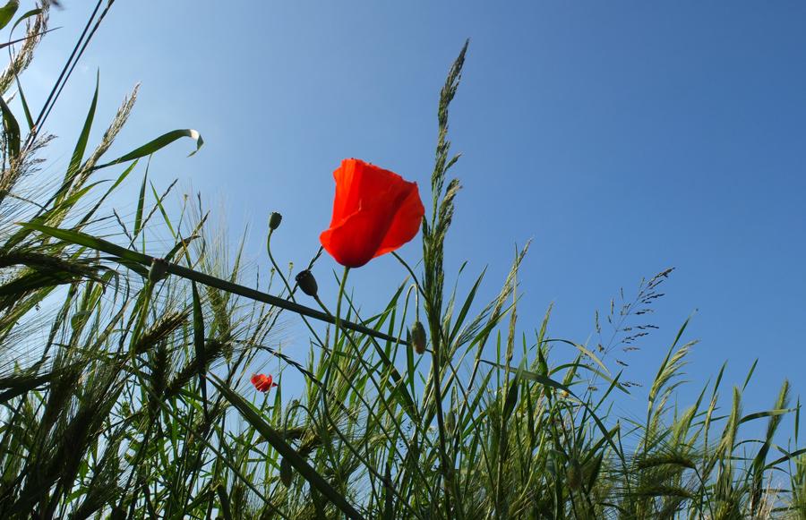 Mohnblume vor blauem Himmel
