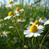 Nahaufnahme weiße Feldblumen