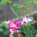 Knospen und Blüten