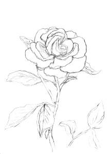 Vorzeichnung Rose