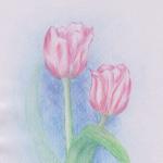 Rosa Tulpen - Aquarellstifte