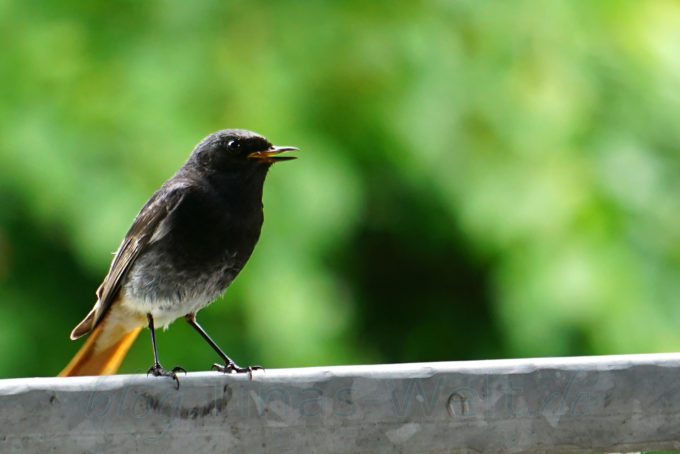 Vogel: Hausrotschwanz Männchen