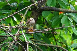 Vogel: Hausrotschwanz Weibchen
